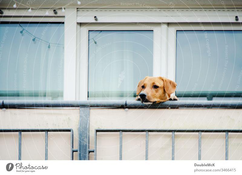 Hund darf nicht raus und guckt über Balkonbrüstung Haustier Farbfoto Außenaufnahme Tier Tag Tiergesicht niedlich Menschenleer Neugier beobachten Blick warten