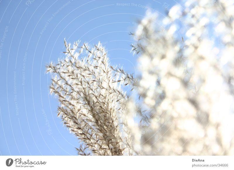 Im Sonnenlicht Natur Himmel weiß Sonne blau Pflanze Gras hell Beleuchtung weich Schilfrohr Schönes Wetter erleuchten beige Wasserpflanze