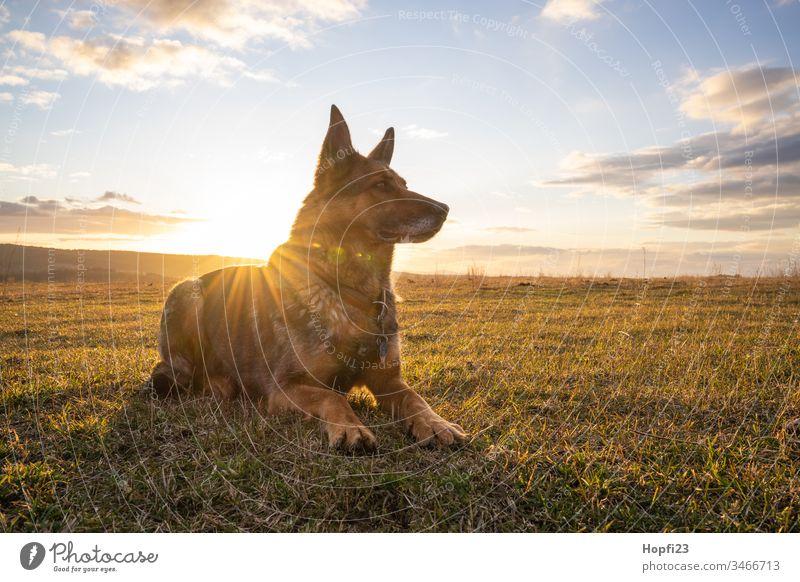 Deutscher Schäferhund sitzt auf der Wiese Hund sitzen beobachten Fell braun schwartz Schnauze Ohren Natur Landschaft Ortschaft Himmel Wolken aufpassen Wachhund