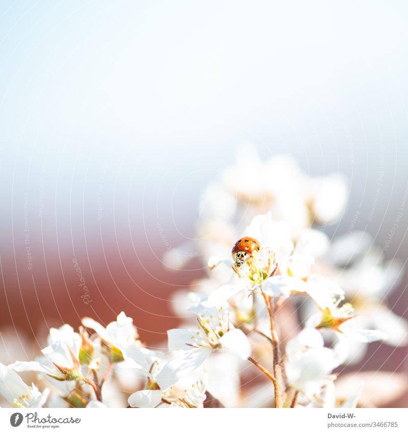 Marienkäfer sitzt auf Blume im Sonnenlicht Blüte Schönes Wetter schön Frühling Garten rot Textfreiraum Textfreiraum oben Natur Sommer Außenaufnahme Blühend