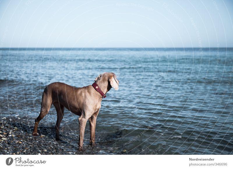 Sehnsucht nach Meer.... Hund Ferien & Urlaub & Reisen blau Wasser Meer Erholung ruhig Tier Strand Ferne Leben Traurigkeit Küste braun elegant stehen