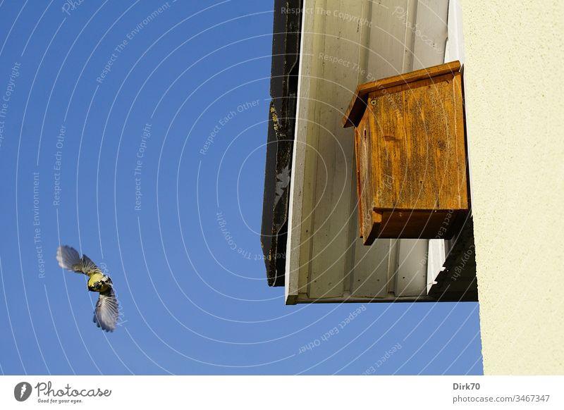 Abflug - Kohlmeise verlässt den Nistkasten Meisen Parus Major Singvogel Vogel fliegen fliegend Start Haus Dach Unterschlag Sonnenschein Sonnenlicht