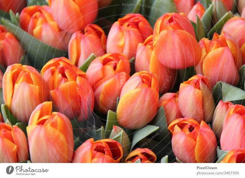 Tulpen Tulpenblüte Blume Blüte Natur flora Nahaufnahme orange Frühling schön