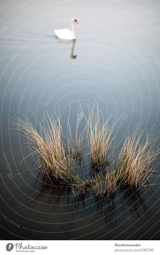 Mein lieber Schwan.... Natur Landschaft Pflanze Tier Wasser Seeufer Moor Sumpf Teich Wildtier 1 Schwimmen & Baden ästhetisch blau braun weiß elegant