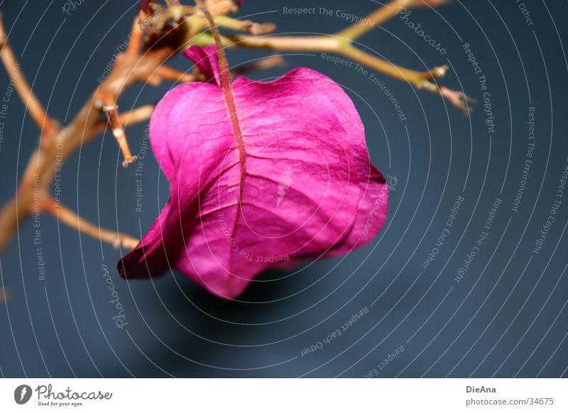 pink flower blau Blume rosa Zweig Zimmerpflanze