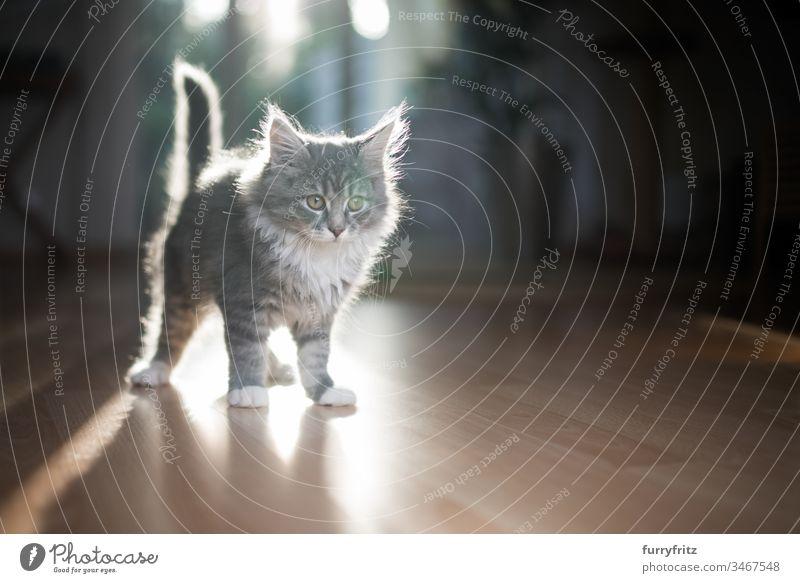 Junges Maine Coon Kätzchen im Gegenlicht Katzenbaby Sonnenlicht Schatten im Innenbereich 2-5 Monate bezaubernd schön blau gestromt Bokeh niedlich Hauskatze