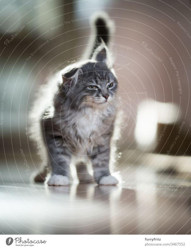 Maine Coon Kätzchen schüttelt sich lustig Katzenbaby Schütteln Blick 2-5 Monate bezaubernd Hintergrundbeleuchtung schön blau gestromt Bokeh niedlich Hauskatze