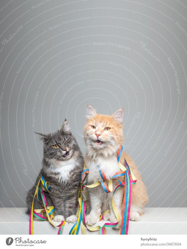 zwei lustige Maine Coon Katzen mit Luftschlangen in Party Stimmung niedlich bezaubernd schön katzenhaft fluffig Fell Rassekatze Haustiere Langhaarige Katze weiß