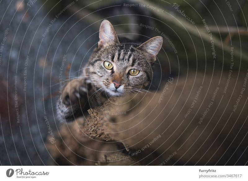 Katze klettert Baum hoch Tabby Krallen Klettern Baumstamm Tierverhalten tierisches Auge Tierhaare Bokeh Neugier Hauskatze katzenhaft Fell Jagd