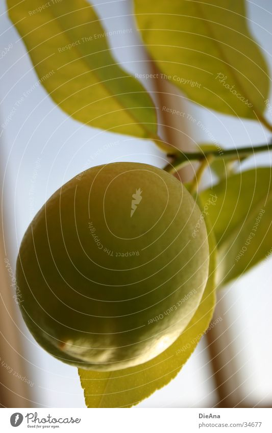 Citrus Limonum grün blau Pflanze Blatt gelb Frucht Zitrone Zitrusfrüchte