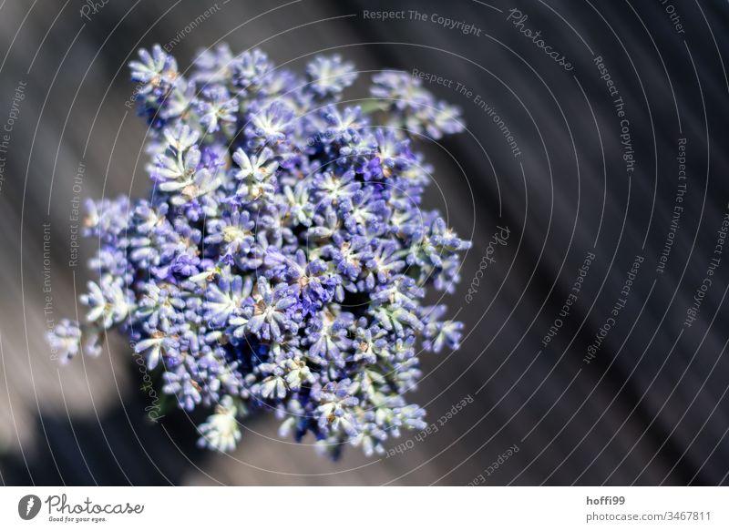 Lavendel im Sonnenlicht von oben Lavendelblüte violett grün Heilpflanzen Blume Sommer Blüte Natur Duft Pflanze Geruch natürlich schön beruhigend Blühend