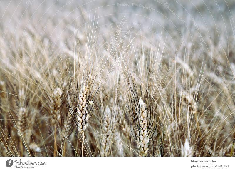 Gerste Lebensmittel Getreide Ernährung Bioprodukte Vegetarische Ernährung Beruf Landwirtschaft Forstwirtschaft Sommer Pflanze Nutzpflanze Feld braun Duft