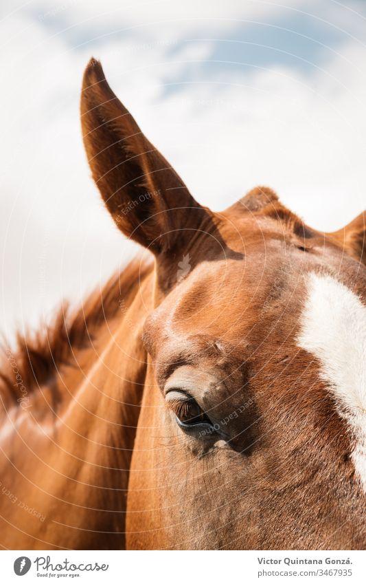 Nahaufnahme eines braunen Pferdes agrar landwirtschaftlich Tier Hinterwälder bukolisch Kavallerie Colt Landschaft wüst Ohren Europa Schönwetter Ackerland