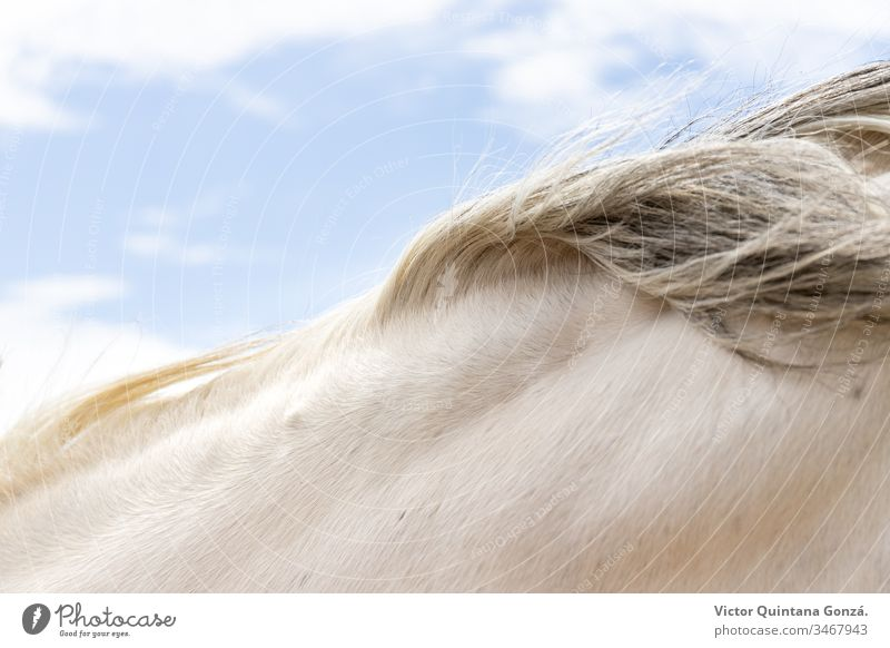 Rosshaar Detail Pferd agrar landwirtschaftlich Tier Hinterwälder bukolisch Kavallerie Colt Landschaft wüst Ohren Europa Schönwetter Ackerland schnell Freiheit