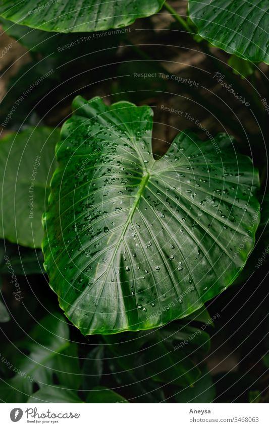 Großes Blatt mit Regentropfen 2017-2020 erste Einfuhr Laubwerk Elefantenohr Pflanze tropisch grün Stimmung Zimmerpflanze Elefantenohrpflanze großes Blatt Grün