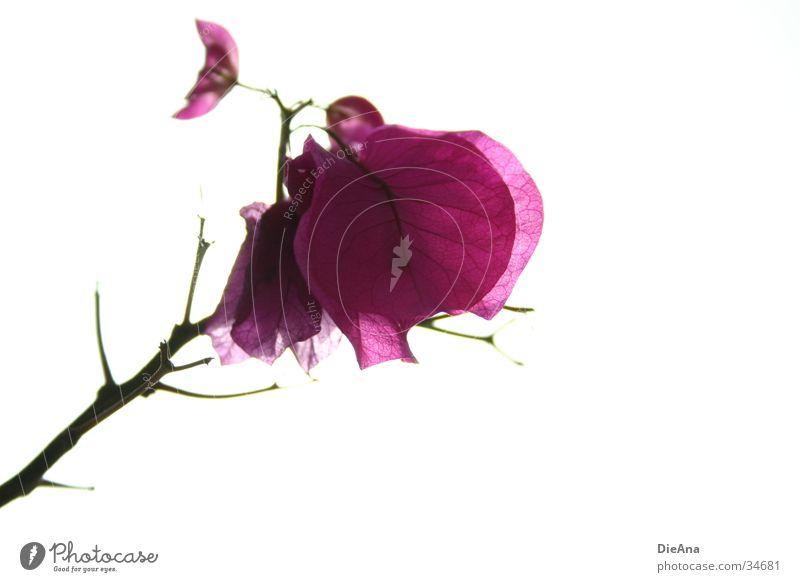 Flora Blume Pflanze rosa violett Zimmerpflanze Gefängniszelle