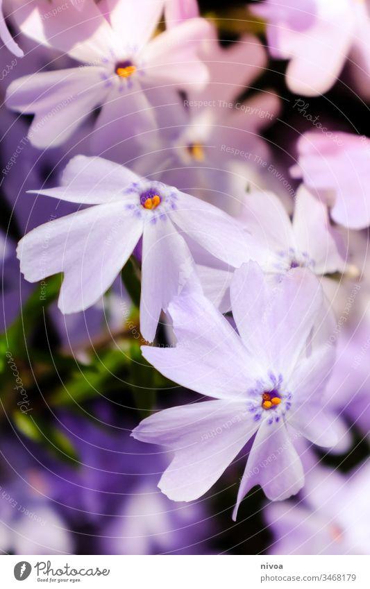 violette Blüten Blütenpflanze Pflanze Blume Außenaufnahme Farbfoto Natur Blütenblatt Makroaufnahme Menschenleer Blütenknospen Detailaufnahme Nahaufnahme