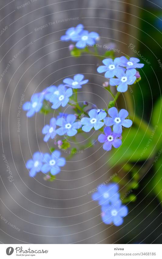 blaue Blümchen violett Blume Blüte Pflanze grün Frühling Makroaufnahme Sommer Natur Tag Außenaufnahme Detailaufnahme Farbfoto Nahaufnahme Schwache Tiefenschärfe