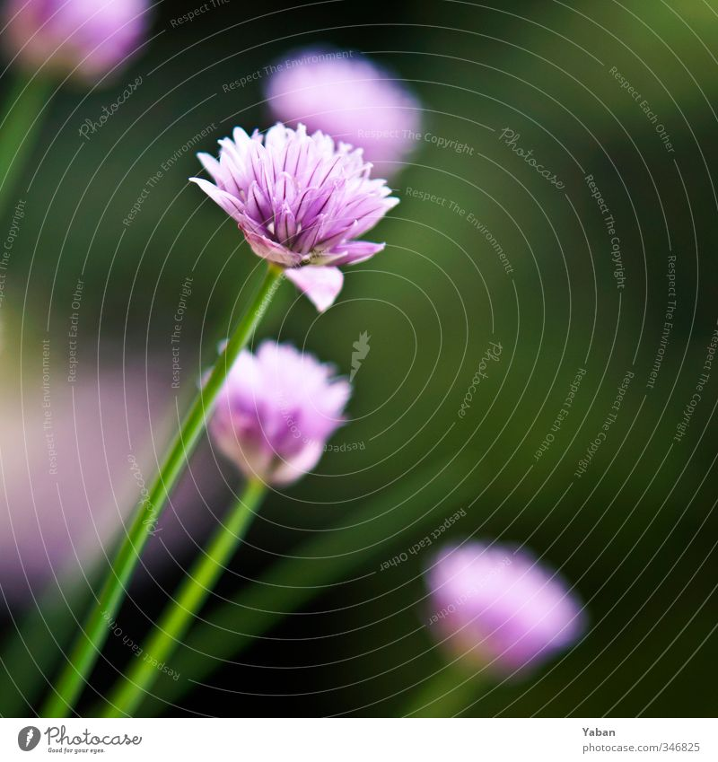 Allium schoenoprasum grün Pflanze Blüte Gesundheit violett lecker Nutzpflanze Topfpflanze