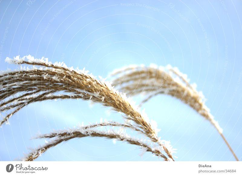 Sciluf (2) Natur Himmel weiß Sonne blau Pflanze Winter Schnee Gras Eis hell Beleuchtung weich Strahlung Schilfrohr Schönes Wetter