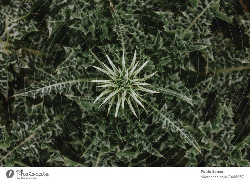 Ansicht des Notobasis Syriaca-Kaktus von oben Kakteenblüte Stachelige Kratzdistel Blüte Blume Natur Farbfoto Nahaufnahme Pflanze grün Blühend Topfpflanze
