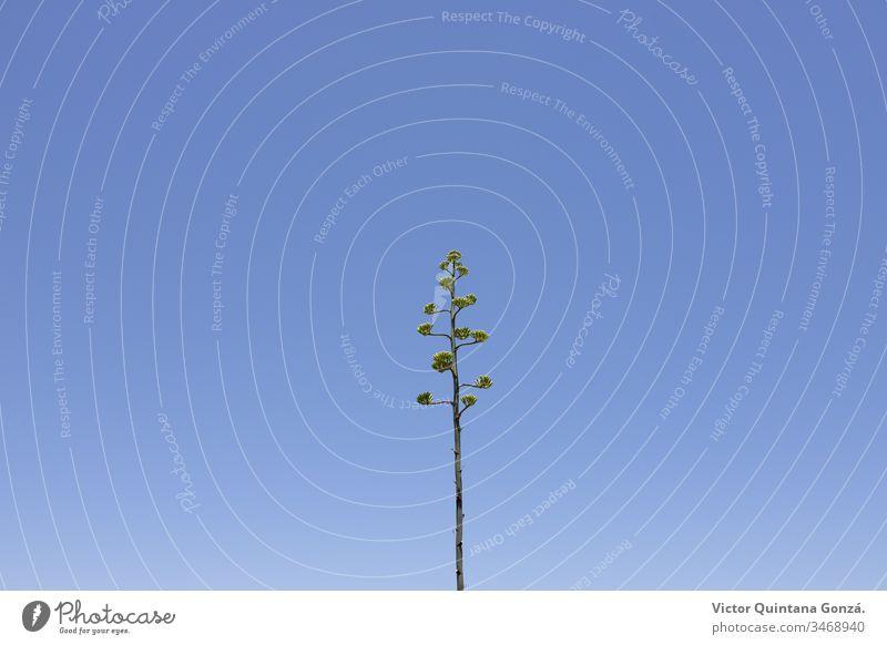 Pita-Pflanze bei blauem Himmel Almeria Agave Blauer Himmel Farbe Beschreibung Essenz Europa Schönwetter Flora Blume Gras Wachstum Landschaft Blatt Licht Natur