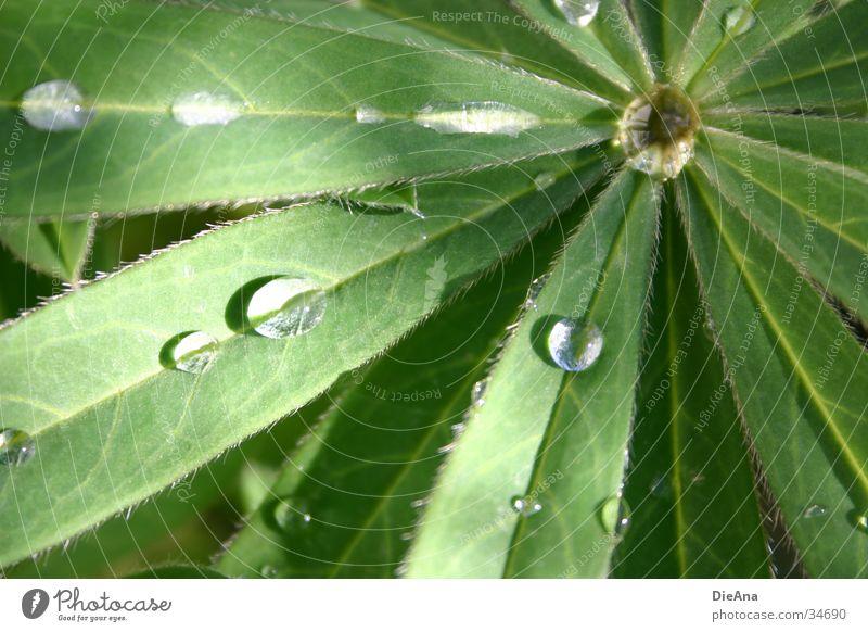 Lupine Wasser grün Blatt Regen Schönes Wetter Wassertropfen wasserdicht Lupine