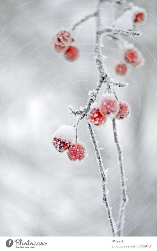 Raureif Frucht Winter Eis Frost Schnee kalt gefroren Winterstimmung Hagebutten Ast rot Farbfoto Außenaufnahme Nahaufnahme Detailaufnahme Menschenleer