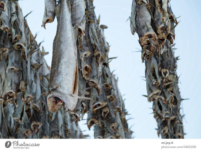 hier riechts nach   Fisch hängen Stockfisch Skrei Kopflos abhängen stinken Lofoten Norwegen Skandinavien Henningsvær Nachrung haltbar trocknen lufttrocknen