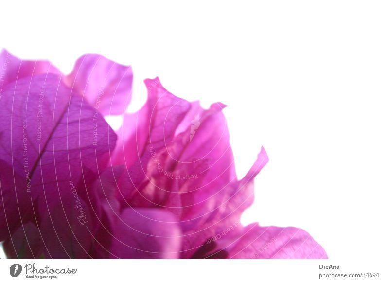 Pink Blossoms Blume Blüte Blütenblatt Zimmerpflanze rosa violett Zweig blauer hintergrund flower white background