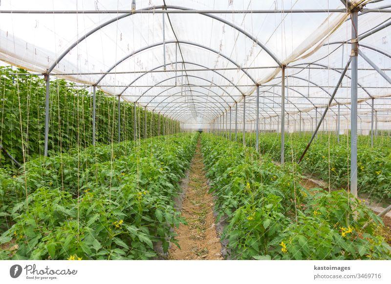 Bio-Tomaten, die im Gewächshaus wachsen. Ackerbau Feld grün Pflanze Bauernhof Wachstum Lebensmittel Gemüse Blatt Ernte Garten Gesundheit Natur organisch