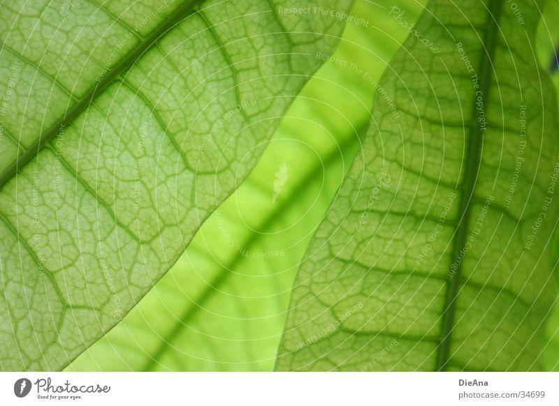 Grüne Zellen (3) Leben Natur grün Zimmerpflanze durchscheinend Gefäße blattstruktur durchsichtig überlappen cells pattern overlap leaves leaf Farbfoto