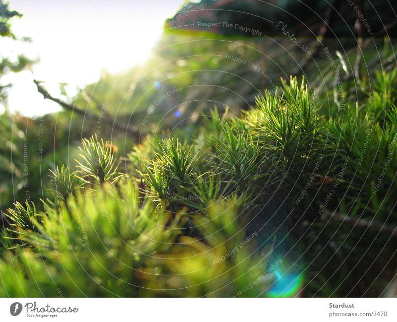 Grasgeflüster 1 Wald Gegenlicht Sonnenuntergang Makroaufnahme Moos
