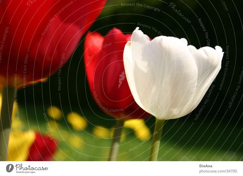 Die weiße Tulpe Blume rot gelb Gras grün Frühling April Garten Pflanze Blühend Schönes Wetter Natur