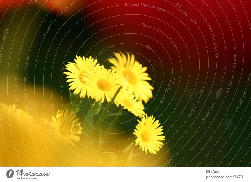verschleiert Garten Natur Pflanze Frühling Schönes Wetter Blume Gras Blühend gelb grün rot April Farbfoto Außenaufnahme Menschenleer Tag Licht Kontrast