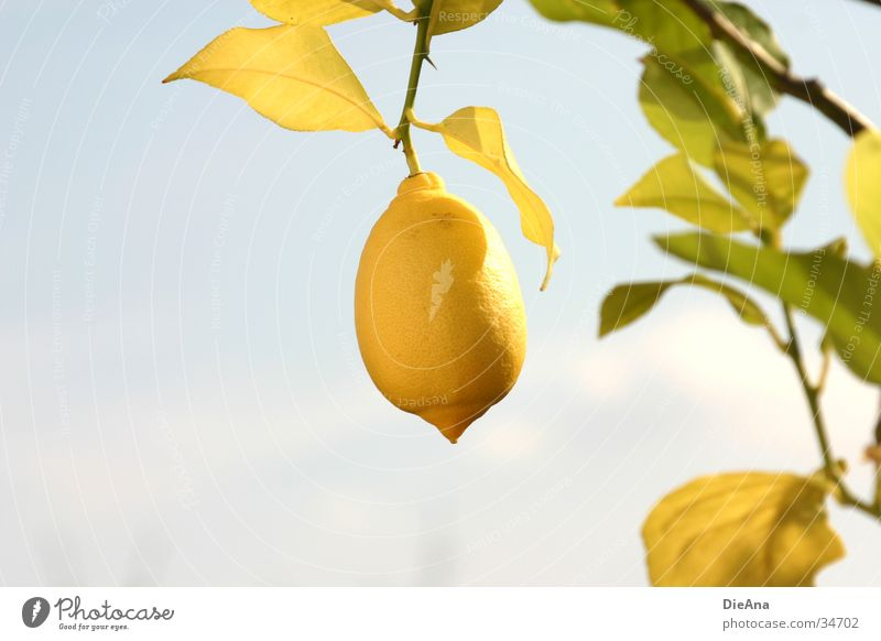 Citrus Limonum (2) Himmel grün blau Pflanze Blatt gelb Frucht Schönes Wetter Zitrone Zitrusfrüchte