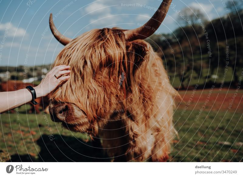 Eine junge Frau streichelt ein schottisches Hochlandrind mit super Frisur. Also das Rind hat die super Frisur. Bei der jungen Frau sieht man die gar nicht. War aber auch super.