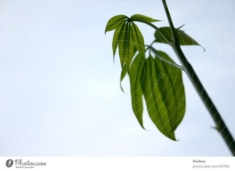 Pachira Aquatica Zimmerpflanze Stengel Gefäße grün Natur blattstruktur Leben leaves leaf
