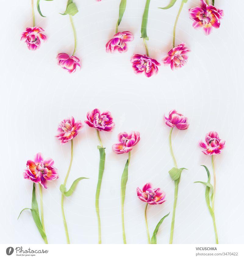 Reizende Rahmenkomposition aus rosa Tulpen auf weißem Hintergrund. Ansicht von oben. Flach gelegt. Hübsches Layout. Abstrakter Frühling. Muttertag oder Schönheit