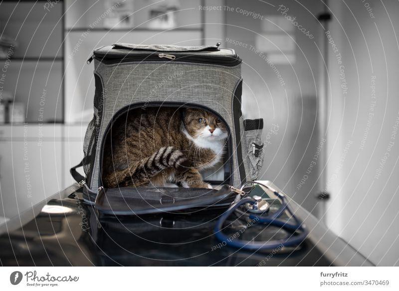 Katze versteckt sich in Transport Tasche beim Tierarzt prüfen Gesundheitswesen Veterinär Prüfung krank Klinik Arzt Stethoskop medizinisch weiß Rassekatze