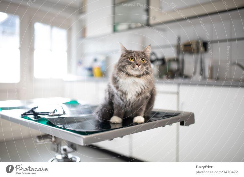Maine Coon Katze sitzt auf dem Operationstisch beim Tierarzt prüfen Gesundheitswesen Veterinär Prüfung krank Klinik Arzt medizinisch weiß Rassekatze Haustiere