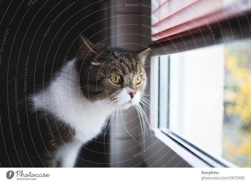 Katze schaut aus dem Fenster und wartet Britisch Kurzhaar aus dem Fenster schauen Neugier bezaubernd Wachsamkeit schön Bokeh niedlich Hauskatze im Innenbereich