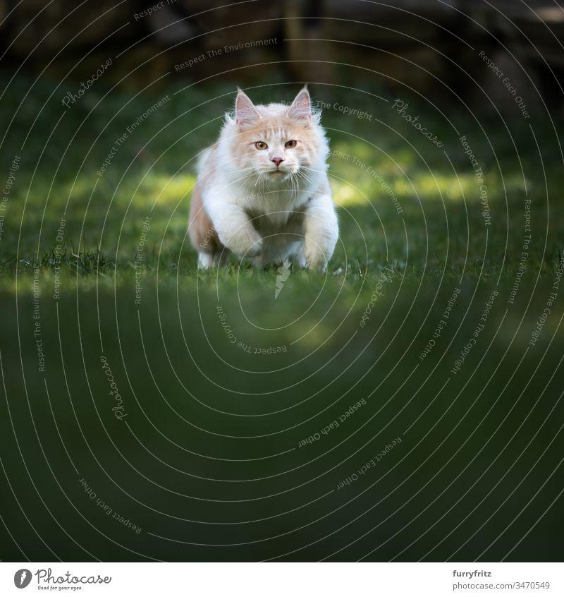 Maine Coon Katze bereit zum Angriff rennen in die Kamera schauen Garten Hirschkalb beige Creme-Tabby Langhaarige Katze Rassekatze Haustiere Katzenbaby Fell