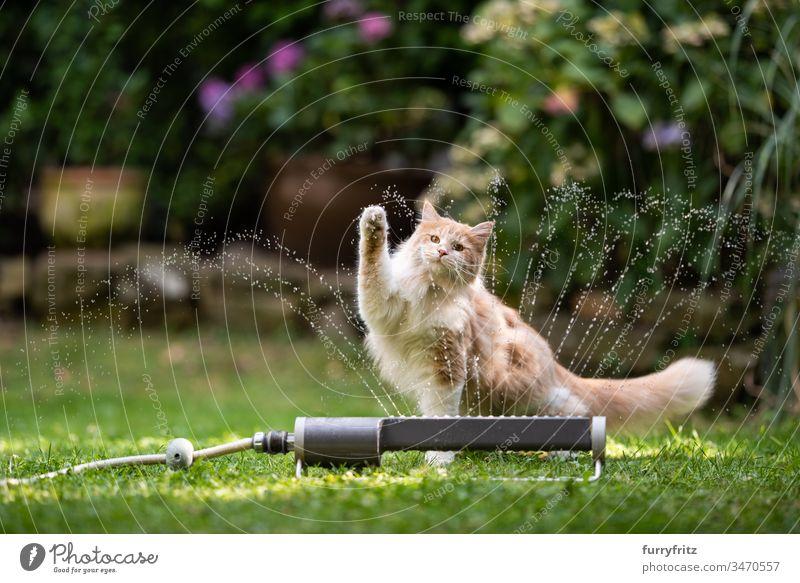 Maine Coon Katze spielt mit Wasser aus dem Rasensprenger im Garten Wasserstrahl nass platschen Sprinkleranlage Wiese Gras Vorder- oder Hinterhof Pflanzen