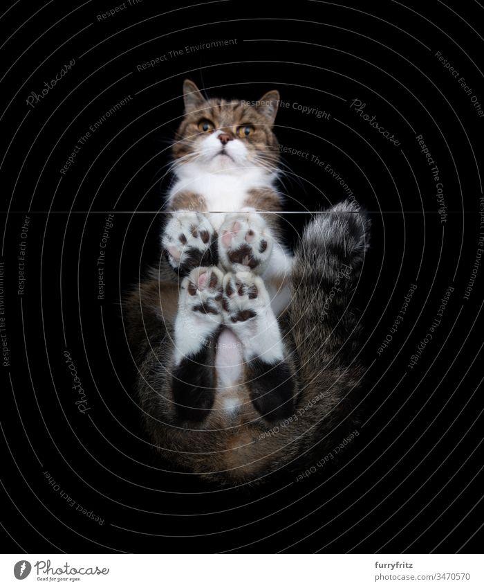 Unteransicht einer Britisch Kurzhaar Katze, die auf einem Glastisch sitzt Textfreiraum schwarzer Hintergrund Studioaufnahme Pfote haarig Zehenbohnen Haustiere