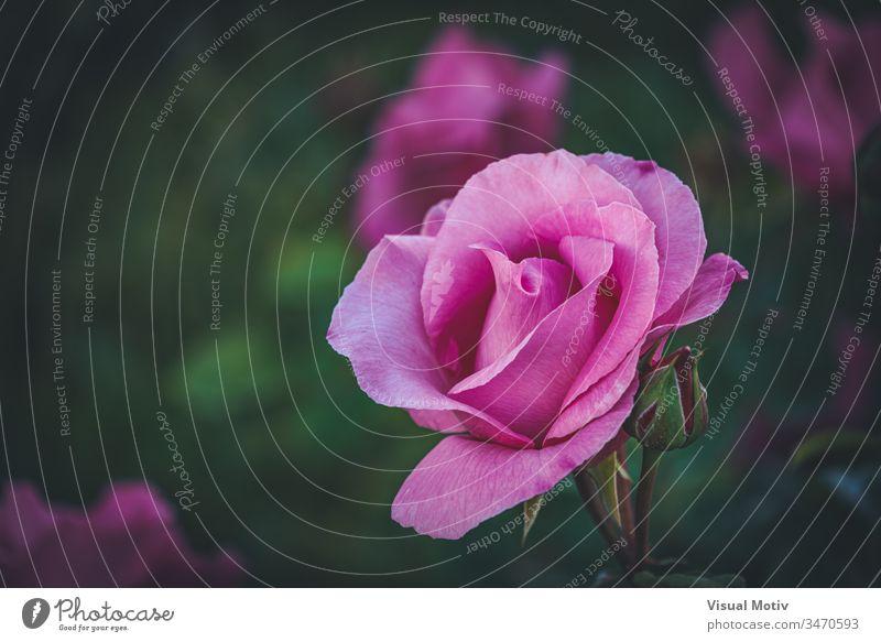 Detail einer gezüchteten rosa Rose in einem Garten Roséwein Blume Blütezeit botanisch Botanik Flora geblümt Blütenblätter Blütenknospen organisch natürlich