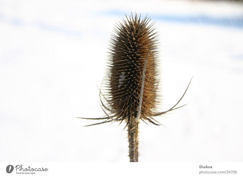 thistle Winter Schnee Natur Pflanze Schönes Wetter weiß Distel erleuchten Januar Stachel pieksen barbed snow prick sunny Farbfoto Außenaufnahme Menschenleer
