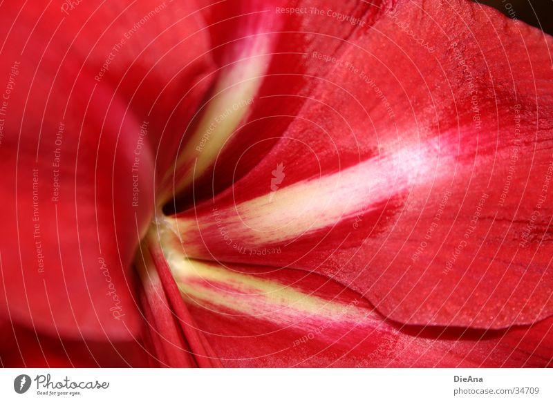 velvety weiß rot Blume gelb Blütenblatt Zimmerpflanze Amaryllisgewächse