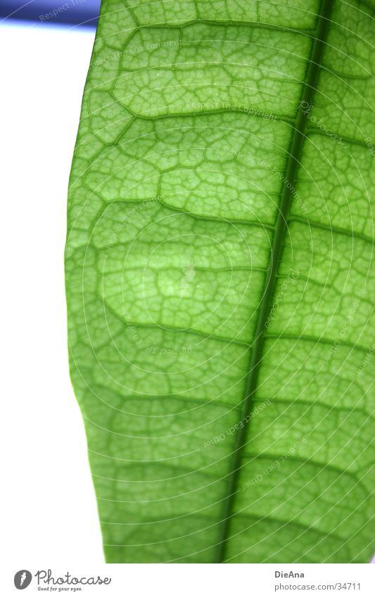 Grüne Zellen (1) Natur grün Leben durchsichtig Gefäße Zimmerpflanze durchscheinend