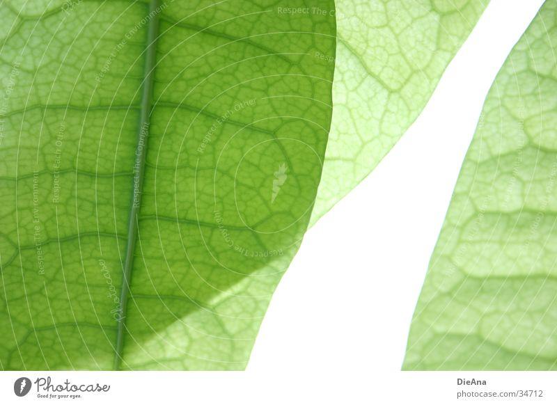 Grüne Zellen (2) Leben Natur grün Zimmerpflanze durchscheinend Gefäße blattstruktur Gefängniszelle durchsichtig überlappen cells pattern overlap leaves leaf